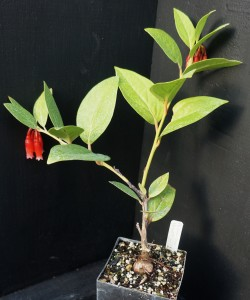 Macleania insignis DH